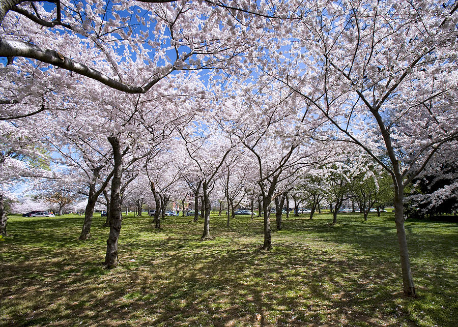 Washington D.c. Photograph - Amid Cherry Trees Washington D.c. Cherry Blossom Festival by Brendan Reals