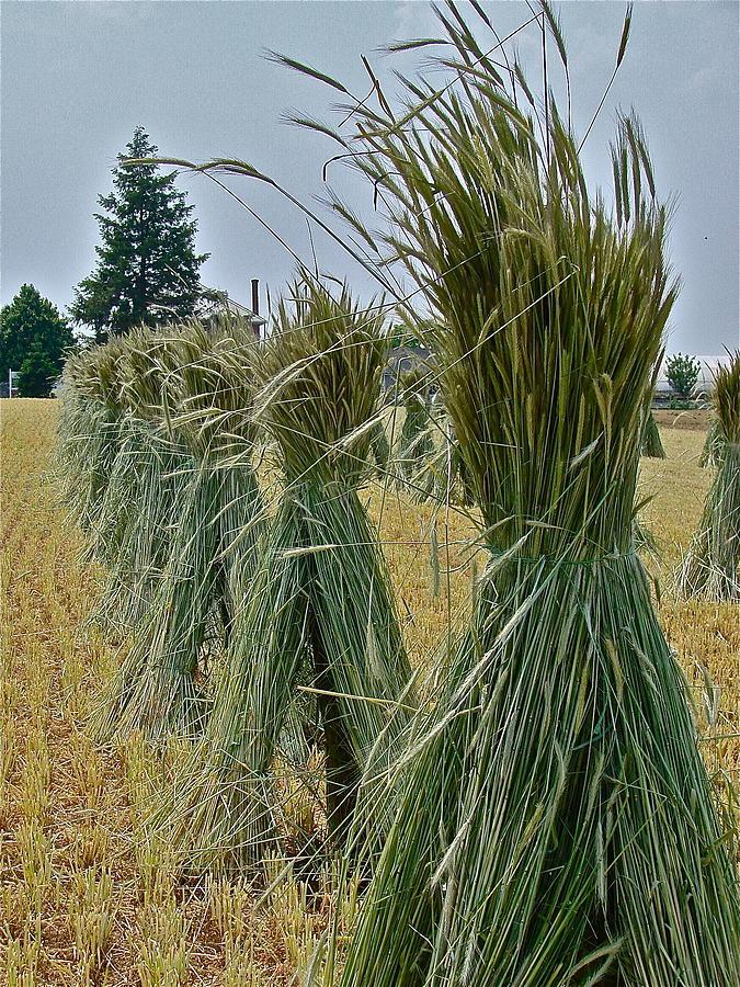 Harvest Photograph - Amish Harvest by Diana Hatcher