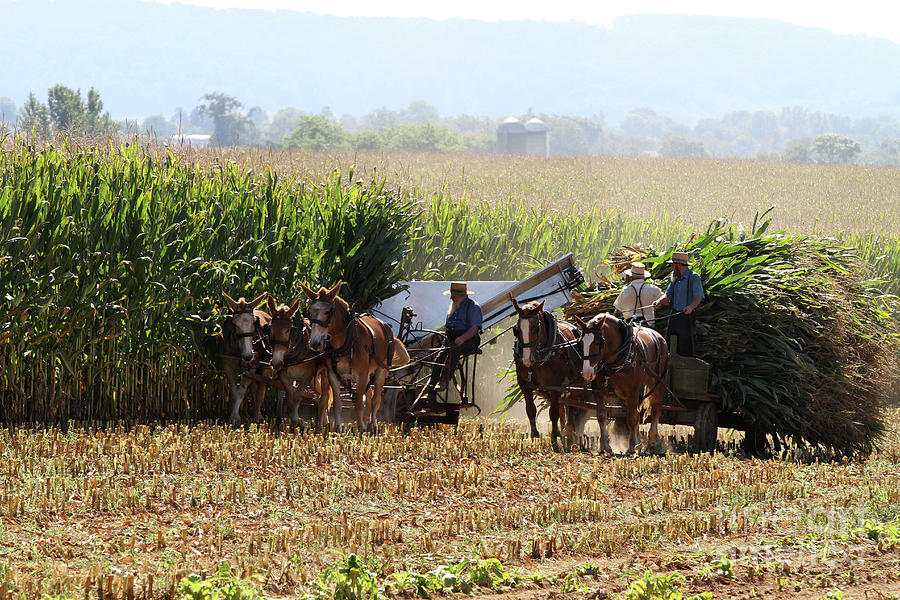 Amish Men Harvesting Corn by Steven Frame