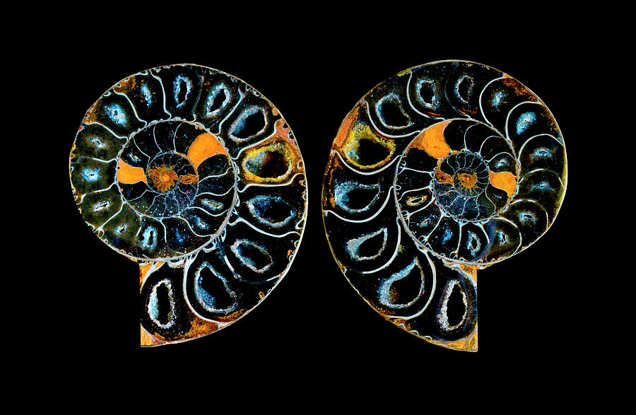 Ammonite Fossil - 5035 Photograph