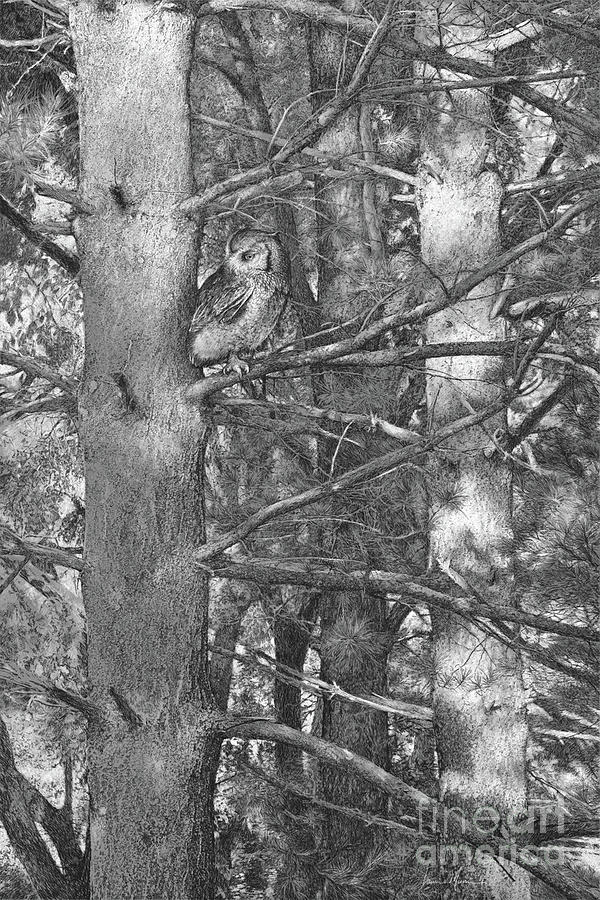 Owl Drawing - Among The Shadows by Laurie Musser