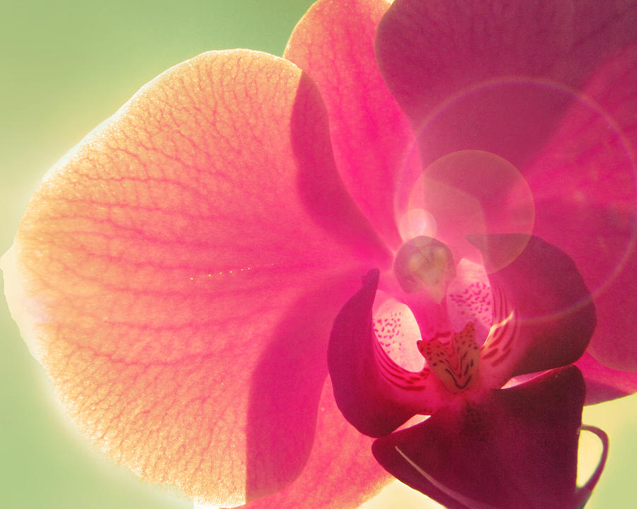 Orchid Photograph - Amoroso by Amy Tyler