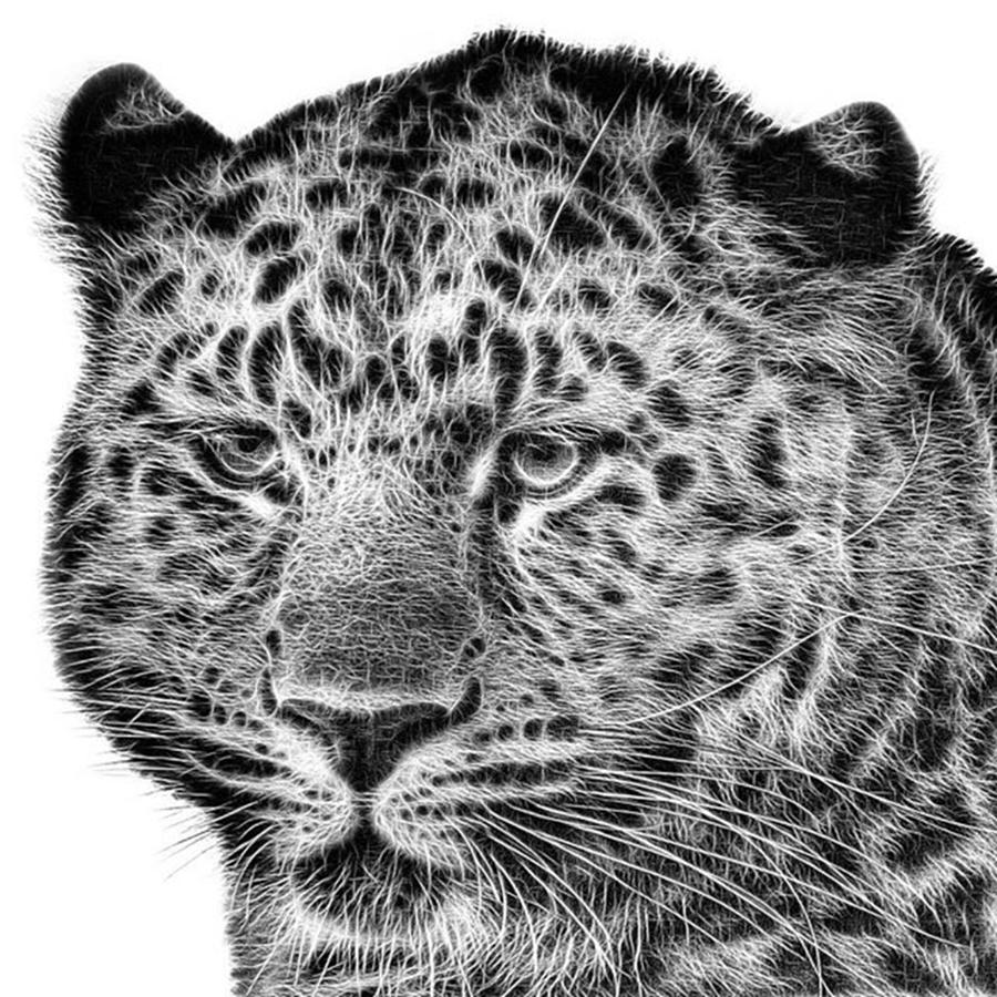 Snowleopard Photograph - Amur Leopard by John Edwards