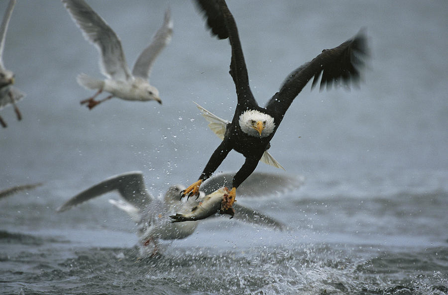 an american bald eagle grabs a fish photograph by klaus nigge