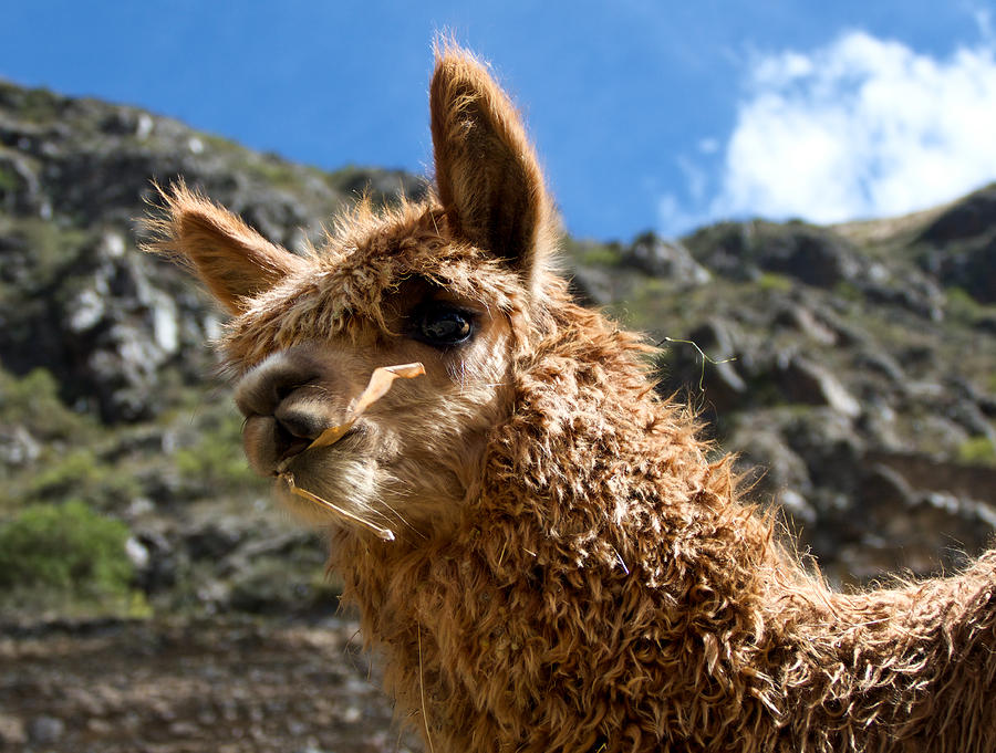 Llama Photograph - An Andean Icon by Jane Selverstone