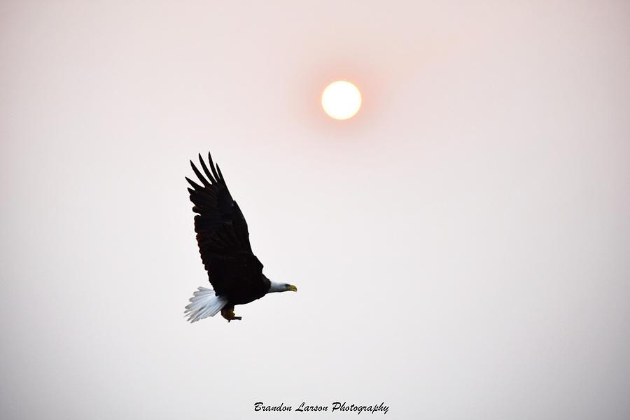 An Eagle At Sunset Photograph by Brandon Larson