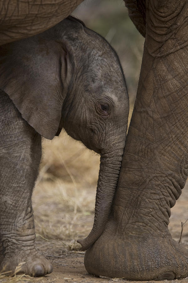 Outdoors Photograph - An Elephant Calf Finds Shelter Amid by Michael Nichols