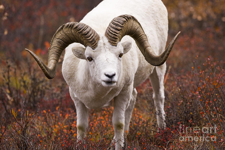 Ram Photograph - An Exceptional Ram by Tim Grams