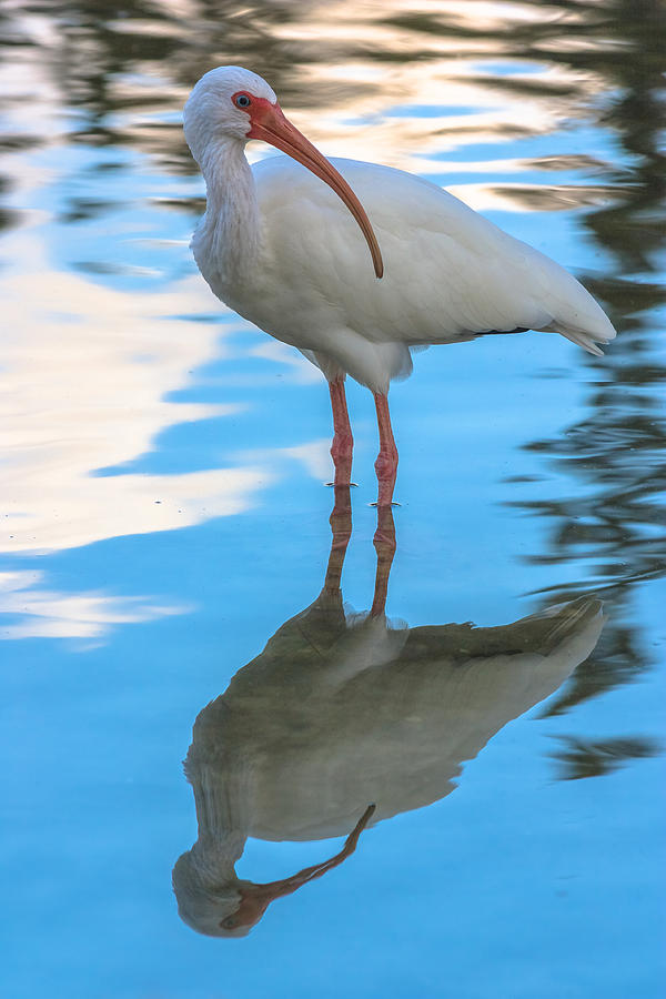 An Ibis Reflecting by ED GLEICHMAN