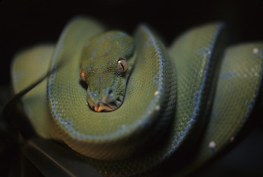 District Of Columbia Photograph - An Immature Green Tree Python Curled by Taylor S. Kennedy