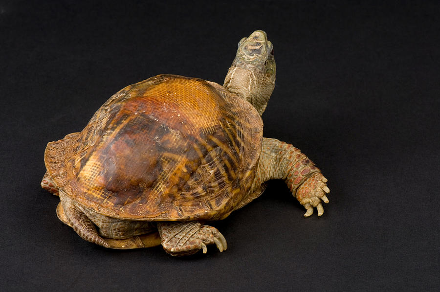 Nobody Photograph - An Ornate Box Turtle With A Fiberglass by Joel Sartore
