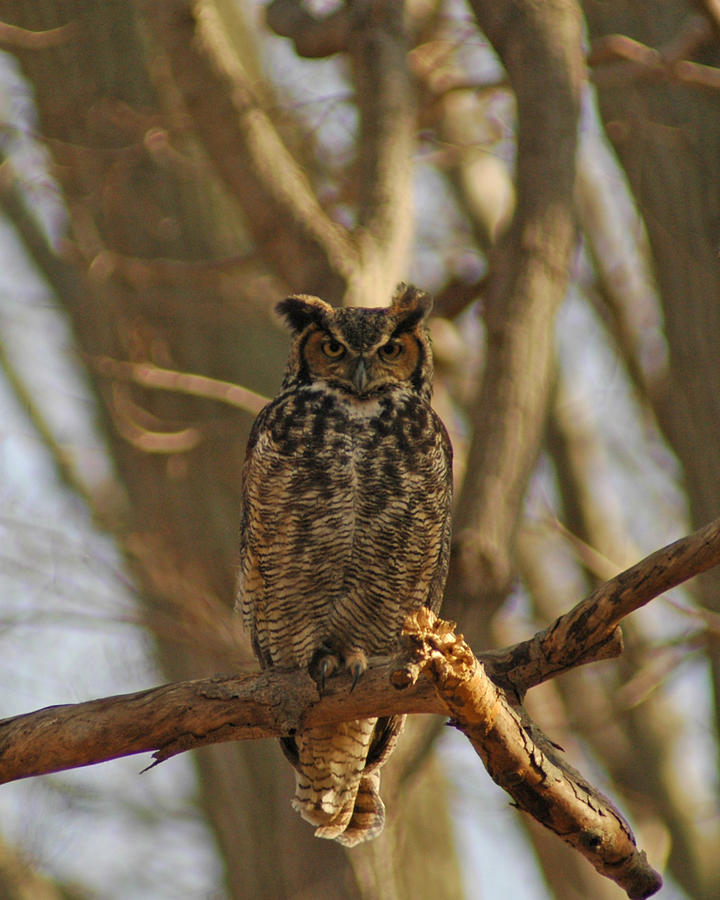 An Owl Photograph by Raymond Salani III