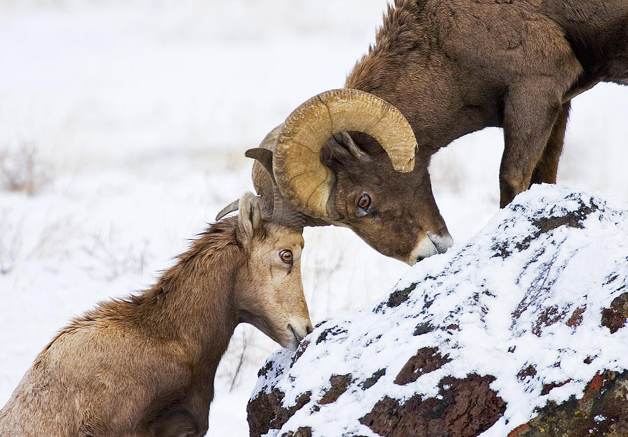 Bighorn Photograph - An Uphill Battle by Mike  Dawson