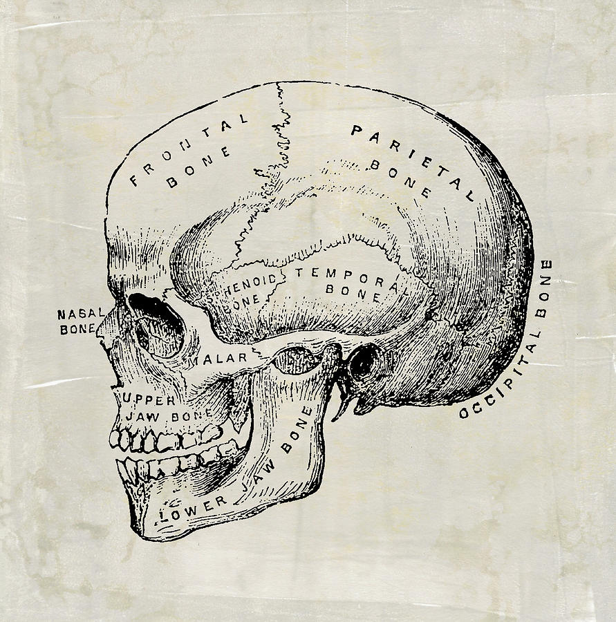 Anatomical Skull Medical Art by Renee Hong