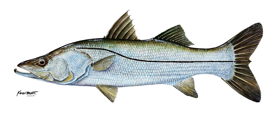 Snook Painting - Anatomical Snook by Kevin Brant
