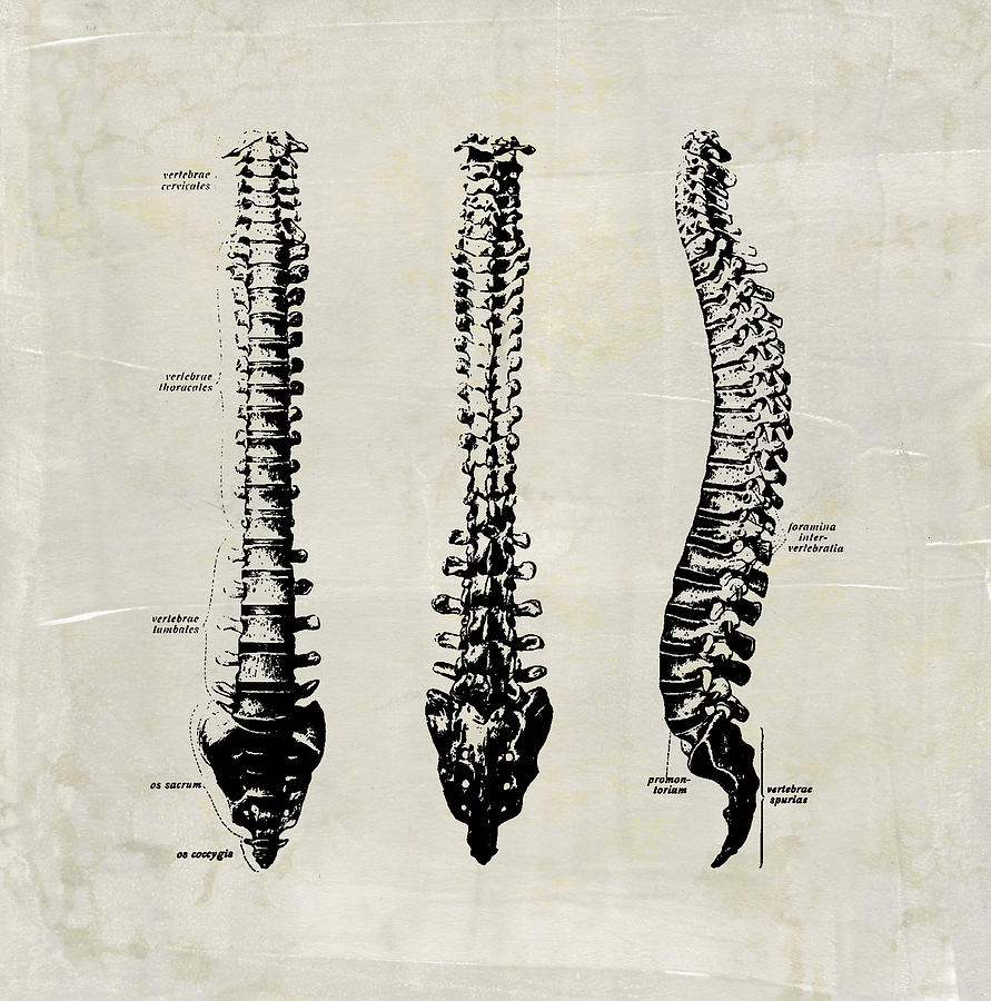 Anatomical Spine Medical Art by Renee Hong