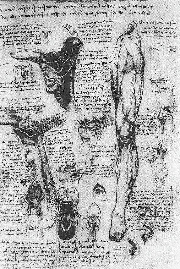 Anatomical Studies, Larynx And Leg Drawing by Leonardo da Vinci