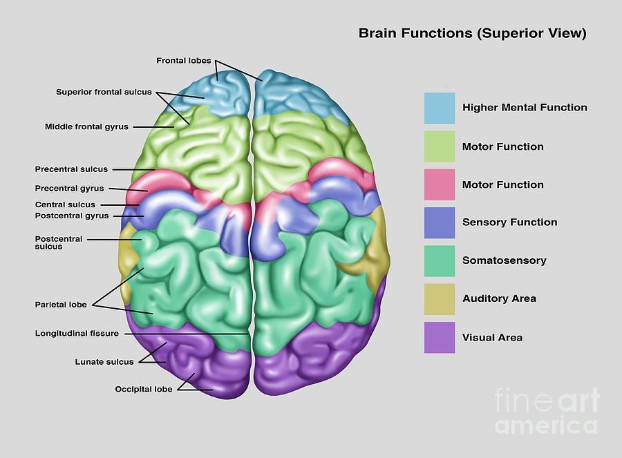 Anatomy & Functions Of Brain Photograph by Gwen Shockey