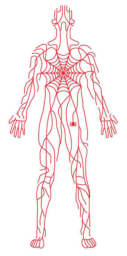 Anatomy Of Human Body And Spider Web by Timothy Goodman