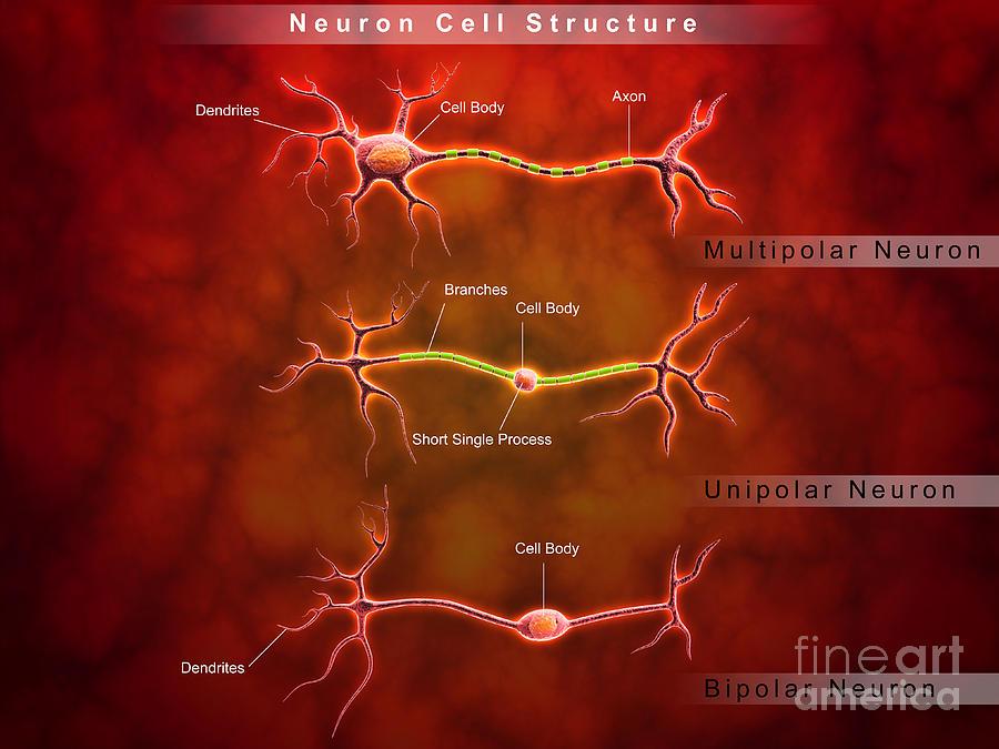 Dendrite Digital Art - Anatomy Structure Of Neurons by Stocktrek Images