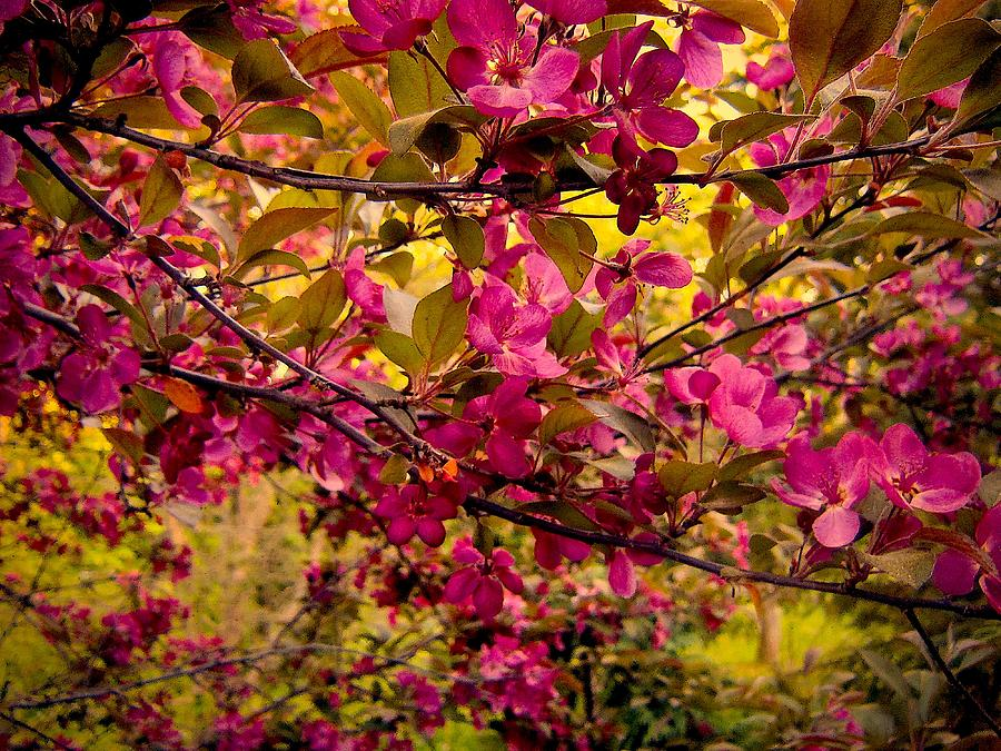 Apple Tree Photograph - Ancestral Branches Of Salamanca by Elizabeth Tillar
