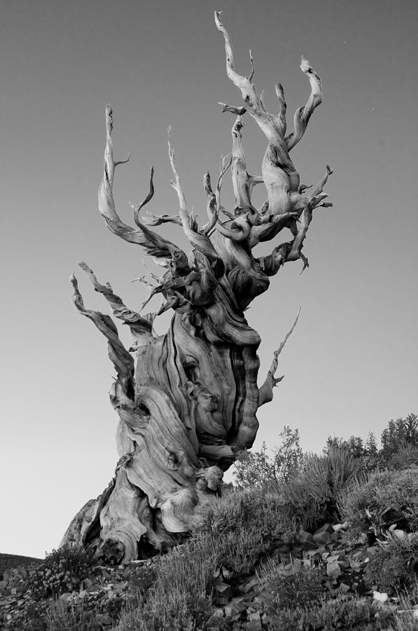 California Photograph - Ancient Bristlecone Pine by Daniel Ryan