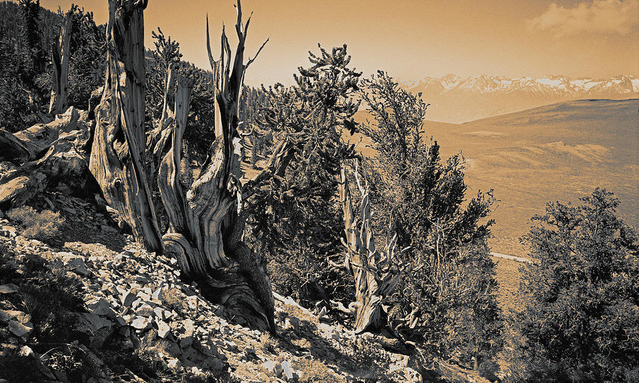 Ancient Bristlecone Pine Tree, Composition 10 Sepia Toned, Inyo National Forest, California Photograph