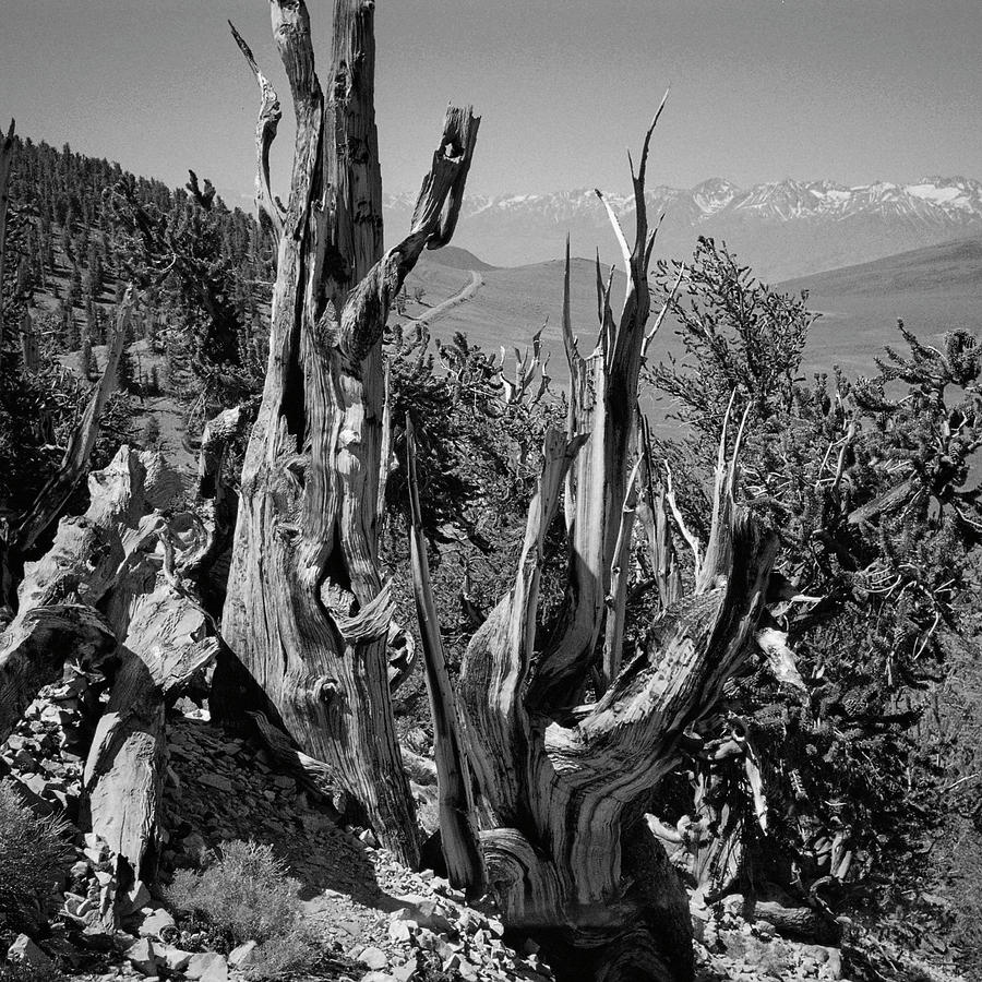 Ancient Bristlecone Pine Tree, Composition 11 Bw, Inyo National Forest, White Mountains, California Photograph
