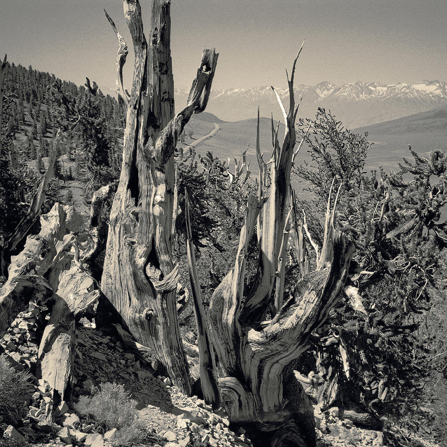 Ancient Bristlecone Pine Tree, Composition 11 Selenium Toned, Inyo National Forest, California Photograph