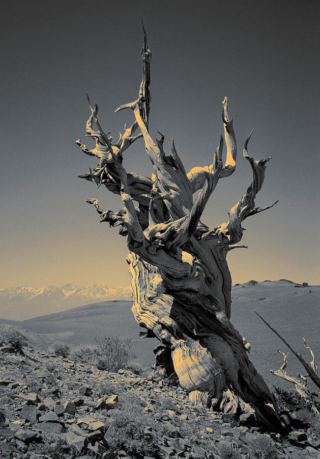 Ancient Bristlecone Pine Tree, Composition 2 Duo Tone, Inyo National Forest, White Mountains Photograph