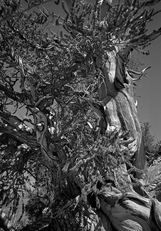 Ancient Bristlecone Pine Tree, Composition 3 Bw, Inyo National Forest, White Mountains, California Photograph
