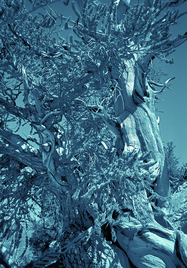 Ancient Bristlecone Pine Tree Composition 3, Cyanotype, Inyo National Forest, California Photograph