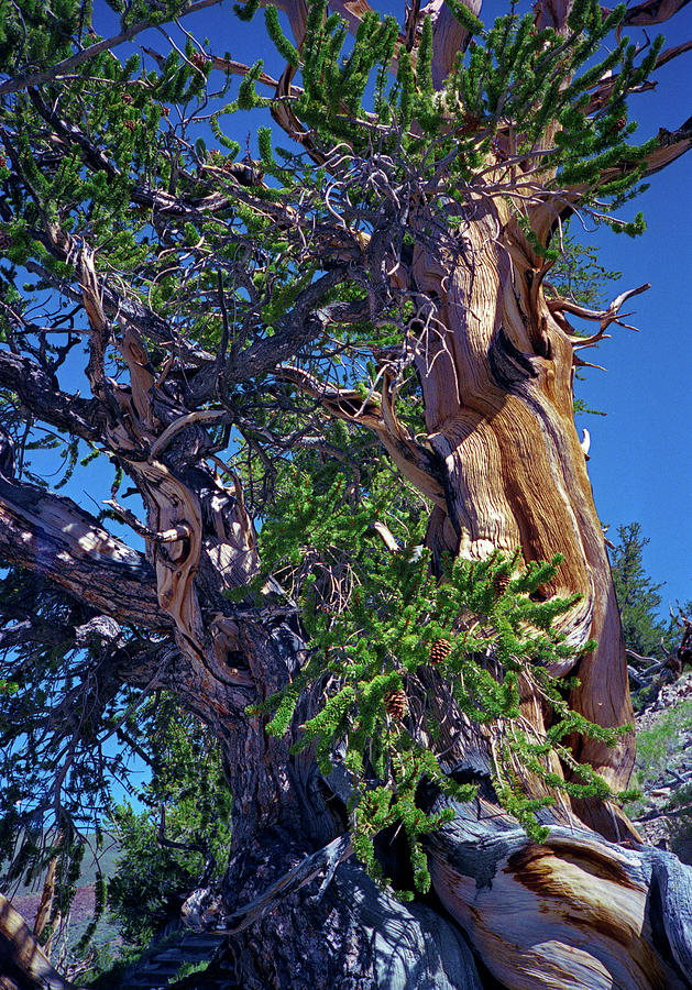 Ancient Bristlecone Pine Tree Composition 3, Inyo National Forest, White Mountains, California Photograph