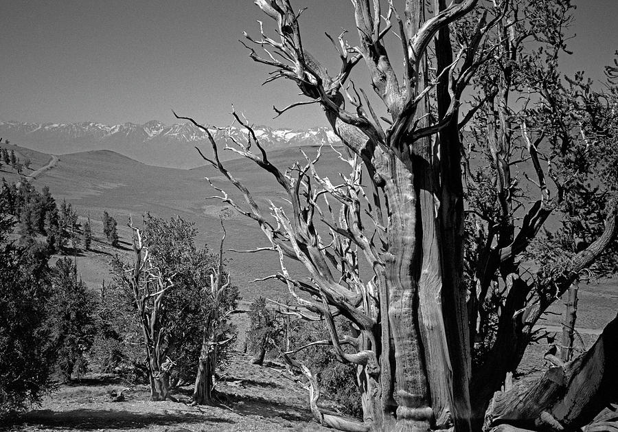 Ancient Bristlecone Pine Tree, Composition 4, Inyo National Forest, White Mountains, California Photograph