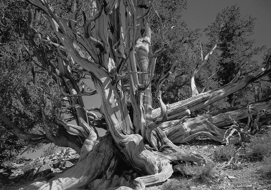 Ancient Bristlecone Pine Tree, Composition 5 Bw, Inyo National Forest, White Mountains, California Photograph