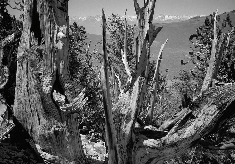 Ancient Bristlecone Pine Tree, Composition 8, Inyo National Forest, White Mountains, California Photograph