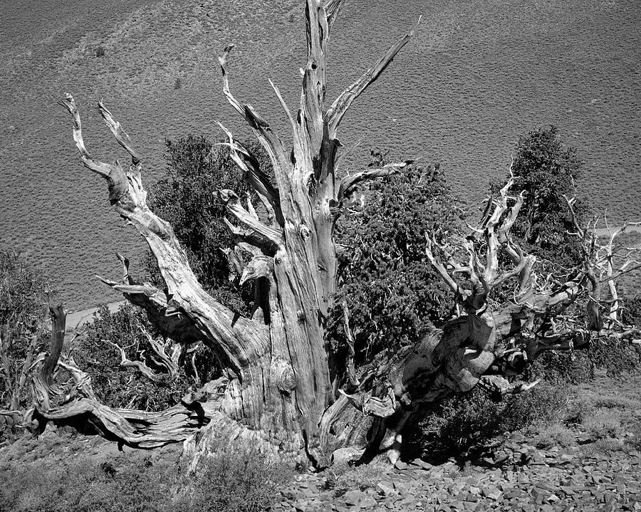 Ancient Bristlecone Pine Tree, Composition 9 Bw, Inyo National Forest, White Mountains, California Photograph