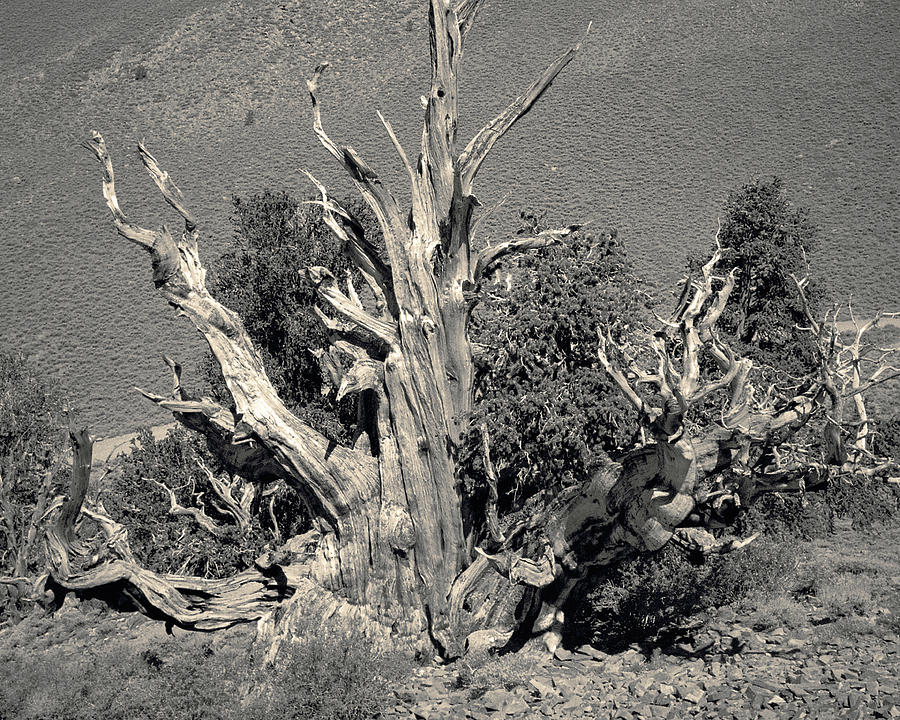 Ancient Bristlecone Pine Tree, Composition 9 Selenium Sepia Toned, Inyo National Forest, California Photograph