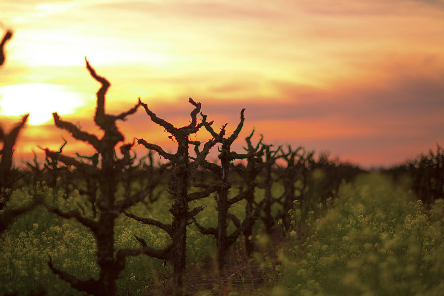 Old Vines Photograph - Ancient Golden Vines And Mustard by Nicholas Karavidas