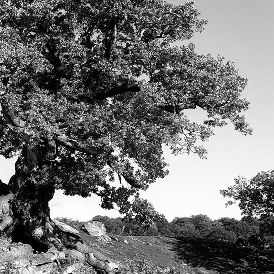 Woodland Photograph - Ancient Oak, Bradgate Park by John Edwards