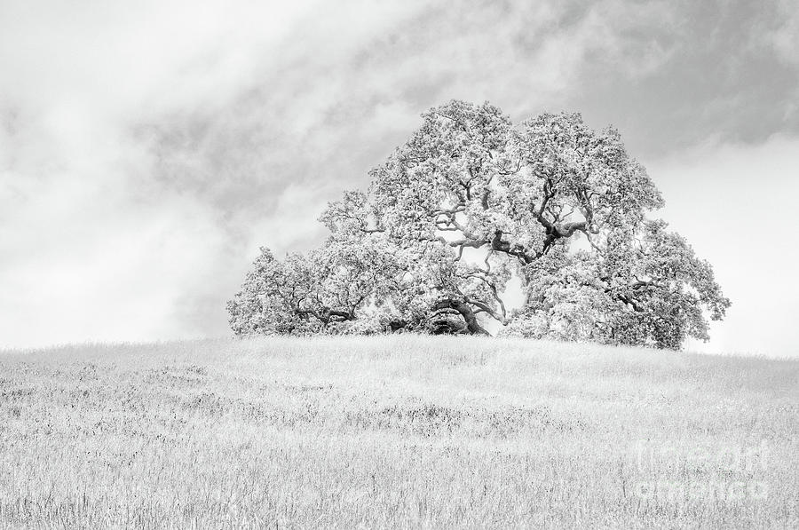 Ancient Oak by Dean Birinyi