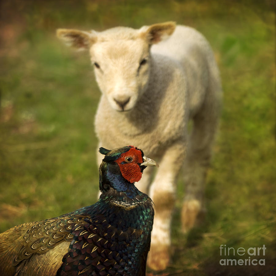 Lamb Photograph - And Who Are You by Angel Ciesniarska