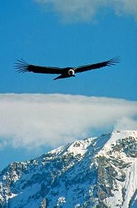 Condor Photograph - Andean Condor At 17000 Feet by Andrew Greene