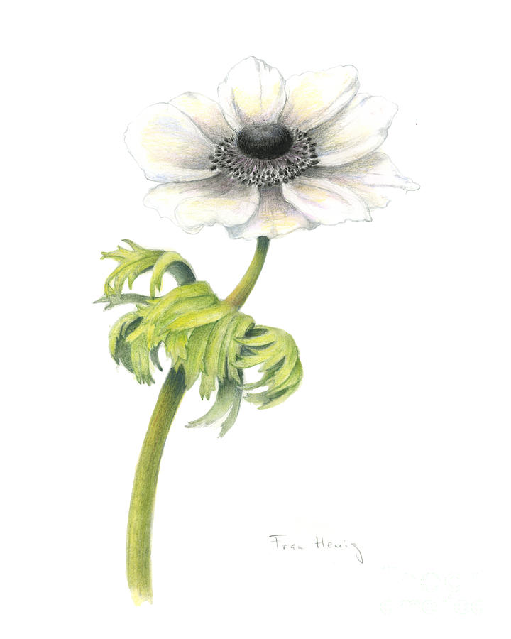 Flower Painting - Anemone by Fran Henig