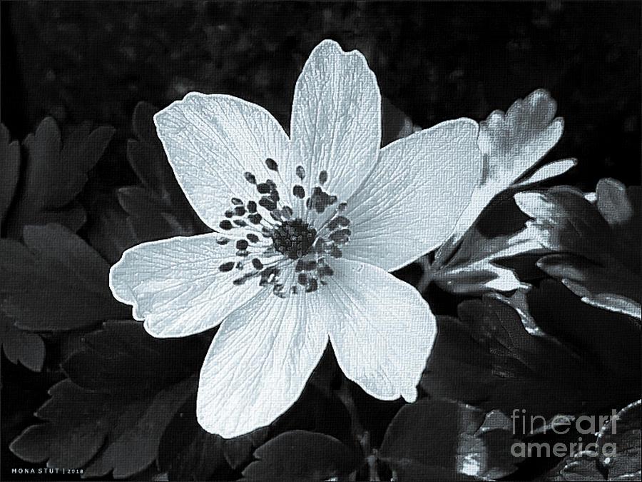 Anemone Nemorosa Windflower Bw Photograph
