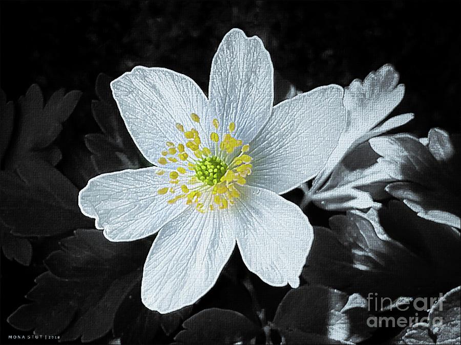 Anemone Nemorosa Windflower Pop Photograph