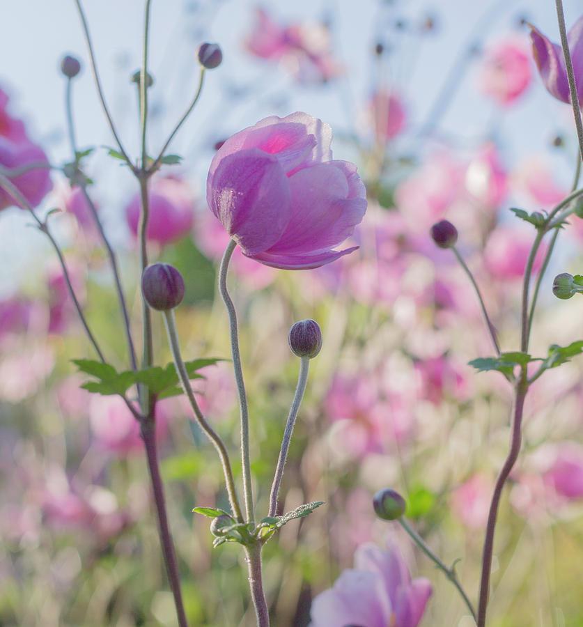 Anemone Softness  by Diane Fifield