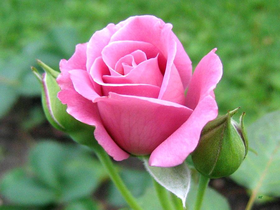 Angel Face Rose Photograph