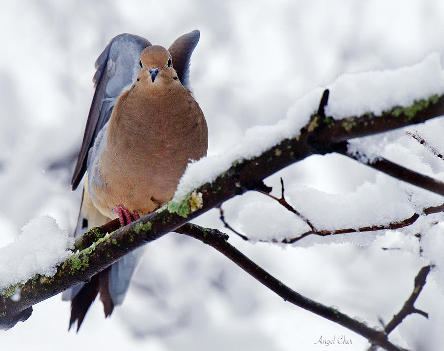 Mourning Dove Photograph - Angel Mourning Dove by Angel Cher