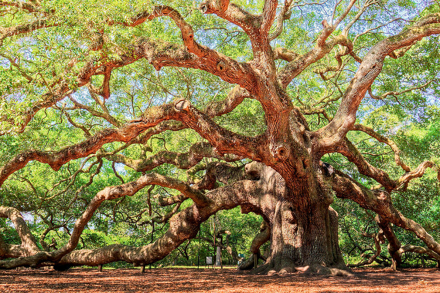 Ancient Photograph - Angel Oak - Charleston Sc  by Drew Castelhano
